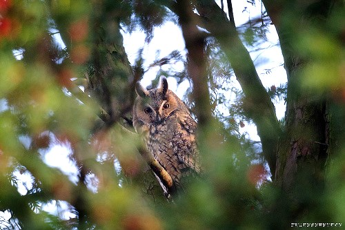 Waldohreule sitzt mit guter Tarnung in einer Baumkrone