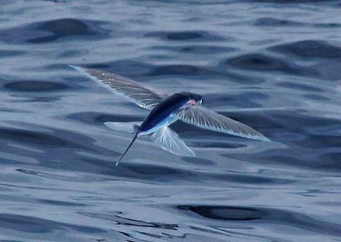 Fliegender Fisch (Cheilopogon pinnatibarbatus)